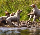 A Pack Of English Foxhounds Playing In The River Photo By: Tom Blackwell //creativecommons.org/licenses/by-Nc-Sa/2.0