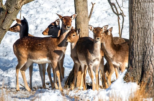 Fallow Deer herd in winter