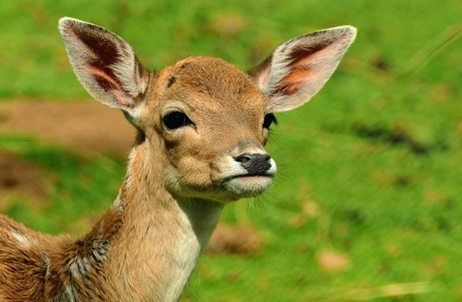 Beautiful Fallow Deer doe