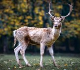 Fallow Deer Buck On Guard For Dangers