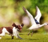Field Spaniel Having Fun Chasing A Snow Goose Photo By: (C) Adogslifephoto Www.fotosearch.com