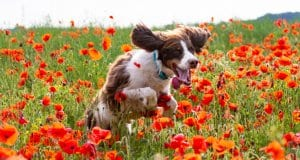Field Spaniel loping through a field of flowersPhoto by: Pierrick Flajoulothttps://creativecommons.org/licenses/by-nd/2.0/