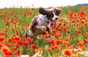 Field Spaniel loping through a field of flowersPhoto by: Pierrick Flajoulot//creativecommons.org/licenses/by-nd/2.0/