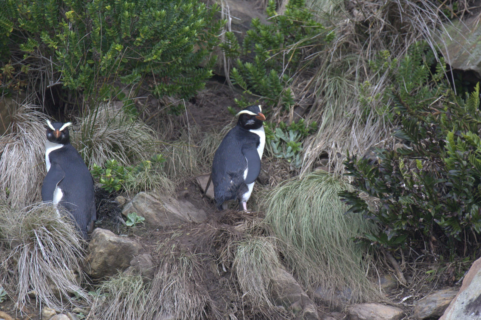//en.wikipedia.org/wiki/Fiordland_penguin#/media/File:Fiordland_Crested_Penguin.jpg