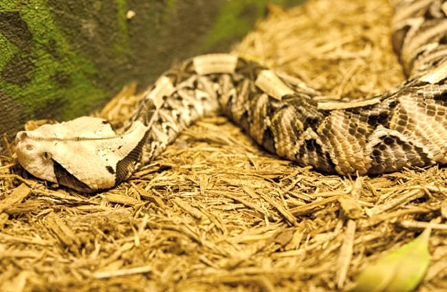 Captive Gaboon Viper in a zoo settingPhoto by: Scott Calleja https://creativecommons.org/licenses/by-sa/2.0/v