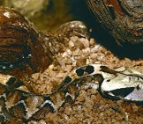 Juvenile Gaboon Viper In A Barcelona Zoo Photo By: Bernard Dupont Https://creativecommons.org/licenses/by-Sa/2.0/