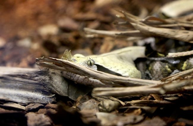 Look closely for the Gaboon Viper, hidden in the leaves Photo by: Tom Woodward https://creativecommons.org/licenses/by-sa/2.0/