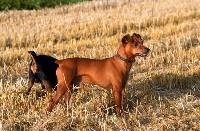 Beautiful red German Pinscher in a stubble fieldPhoto by: (c) dadalia www.fotosearch.com