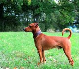Profile Of A German Pinscher In The Park Photo By: Stesi-Cliff Cc By-Sa 4.0 //creativecommons.org/licenses/by-Sa/4.0