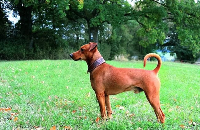 Profile of a German Pinscher in the park Photo by: Stesi-cliff CC BY-SA 4.0 https://creativecommons.org/licenses/by-sa/4.0