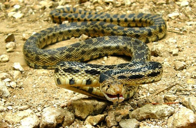 The gopher snake's coloring hides him in his native habitat