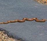 Gopher Snake Warming Itself On The Road Photo By: Allan Hack Https://creativecommons.org/licenses/by-Nd/2.0/
