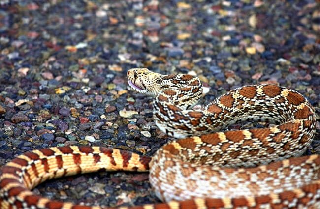 Gopher snake basking on the warm asphalt Photo by: Tim Lenz https://creativecommons.org/licenses/by-nd/2.0/