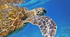 https://pixabay.com/en/sea-turtle-green-sea-turtle-547163/