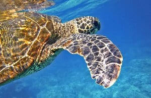//pixabay.com/en/sea-turtle-green-sea-turtle-547163/