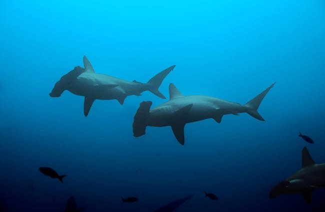 Two hammerhead sharks swimming in the deep blue waters of the ocean Photo by: (c) serrnovik www.fotosearch.com