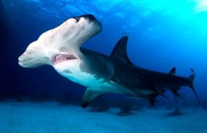 Great Hammerhead shark in the BahamasPhoto by: (c) hakbak www.fotosearch.com