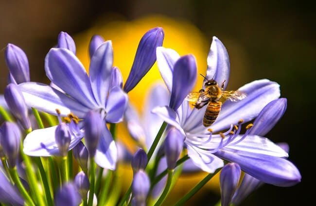 Honey Bee drinking nectar from purple flowers