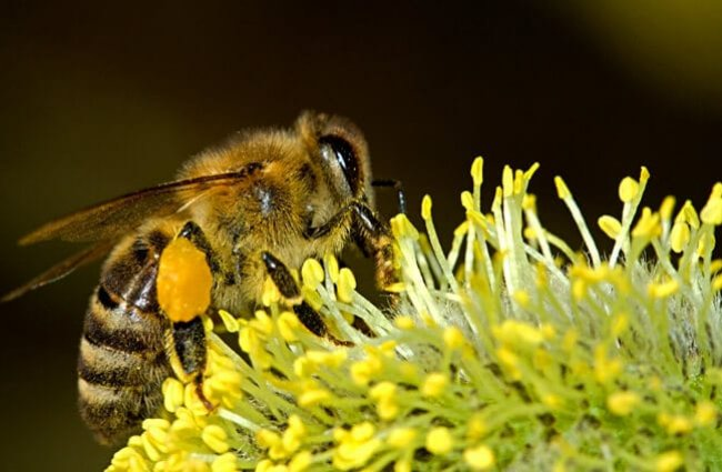 Honey Bee gathering pollen while sipping nectar