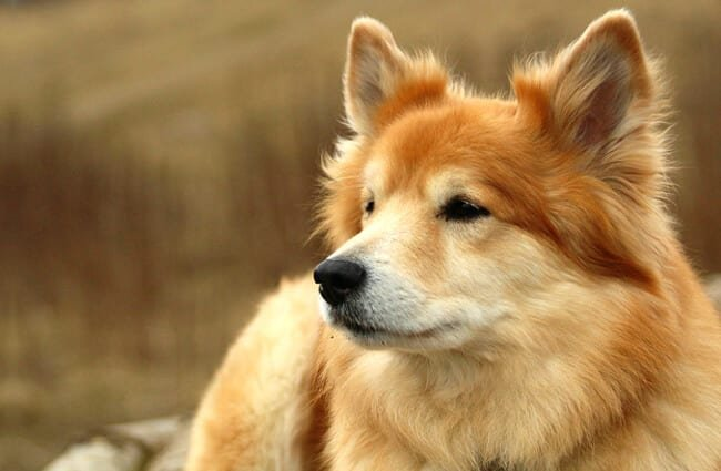 Closeup of a beautiful Icelandic SheepdogPhoto by: Jonas Jensen//creativecommons.org/licenses/by-nc-sa/2.0/