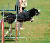 Icelandic Sheepdog In Agility Competition Photo By: Eqkrishena //creativecommons.org/licenses/by-Nc-Sa/2.0/