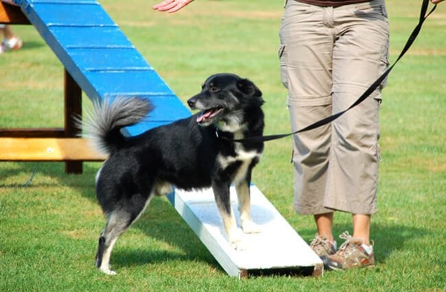 Icelandic Sheepdog in agility training Photo by: eqkrishena //creativecommons.org/licenses/by-nc-sa/2.0/