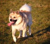 Beautiful Icelandic Sheepdog Playing Photo By: Eqkrishena //creativecommons.org/licenses/by-Nc-Sa/2.0/