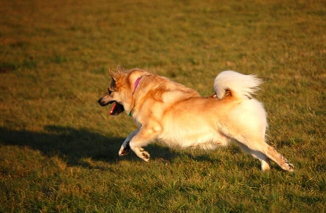 Icelandic Sheepdog in motion Photo by: eqkrishena //creativecommons.org/licenses/by-nc-sa/2.0/