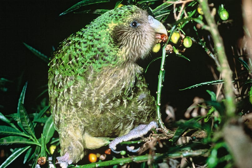 //en.wikipedia.org/wiki/Kakapo#/media/File:Kakapo_Trevor_feeding_on_poroporo_fruit.jpg
