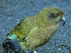 https://commons.wikimedia.org/wiki/Category:Fiordland_National_Park#/media/File:Kea_at_Milford_Sound_-_panoramio.jpg