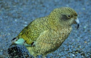 //commons.wikimedia.org/wiki/Category:Fiordland_National_Park#/media/File:Kea_at_Milford_Sound_-_panoramio.jpg