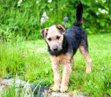 Lakeland Terrier Playing In The Park