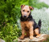 Lakeland Terrier Posing For A Photo