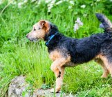 Lakeland Terrier On Point