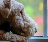 Lakeland Terrier Watching The Rain Photo By: Rusty Clark ~ 100K Photos Https://creativecommons.org/licenses/by-Sa/2.0/