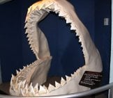 Megalodon Shark Jaw On Exhibition At Los Angeles Sea World. Photo By: (C) Mulevich Www.fotosearch.com
