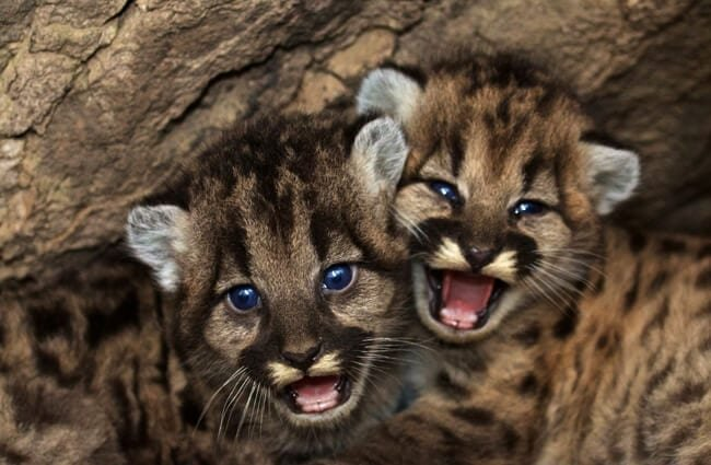 Mountain Lion cubs peeking out from their den