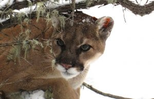 Mountain Lion hunting  in the winter snow