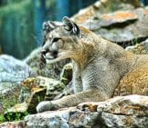 Mountain Lion Blending Into The Rocks