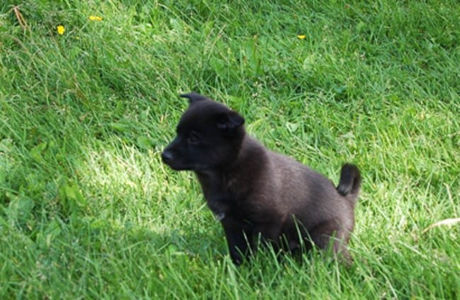 Norwegian Elkhound puppy in the yard Photo by: andreasf //creativecommons.org/licenses/by-nc-sa/2.0/
