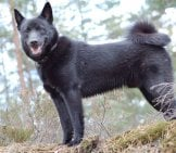 Beautiful Norwegian Elkhound Posing In The Forest Photo By: Andreasf //creativecommons.org/licenses/by-Nc-Sa/2.0/