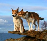 A Pair Of Norwegian Lundehund On A Rocky Outcroppingphoto By: Lundtola//creativecommons.org/licenses/by-Nc-Sa/2.0/