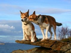 A pair of Norwegian Lundehund on a rocky outcroppingPhoto by: Lundtolahttps://creativecommons.org/licenses/by-nc-sa/2.0/