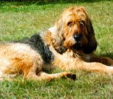 Otterhound Lounging In The Summer Sun Photo By: Otterhound Club Of America //clubs.akc.org/ohca/