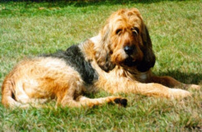 Otterhound lounging in the summer sun Photo by: Otterhound Club of America http://clubs.akc.org/ohca/
