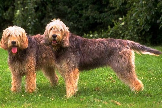 A pair of Otterhounds posing for a photo