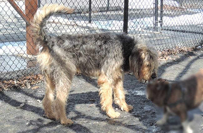Large Otterhound greeting a much smaller dog Photo by: kerryrMD2014 https://creativecommons.org/licenses/by/2.0/