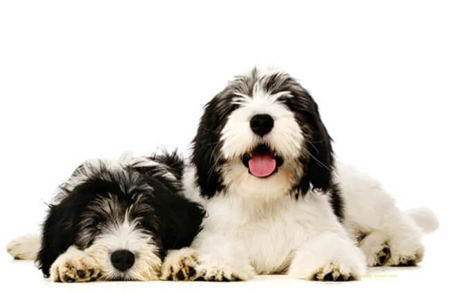 A pair of Polish Lowland Sheepdogs Photo by: (c) firstbite www.fotosearch.com