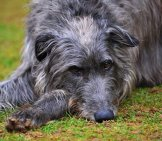 Scottish Deerhound Napping In The Yard. Photo By: Adam Singer Https://creativecommons.org/licenses/by-Nd/2.0/