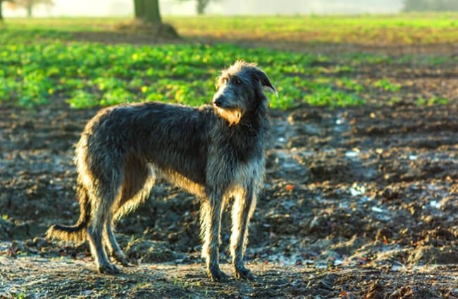 Scottish Deerhound in the dawn light. Photo by: Adam Singer https://creativecommons.org/licenses/by-nd/2.0/